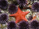 Why Are Millions of Starfish Melting?
