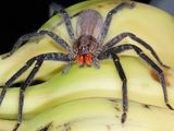 Are Dangerous Spiders Hiding in Your Fruit?